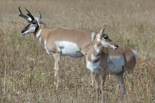 Pronghorn Antelope - Antilocarpa americana - Yellowstone NP 9-09-06_161 (2).jpg