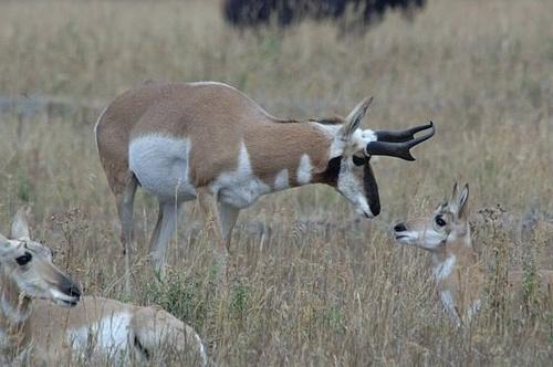 Pronghorn Antelope Family - Antilocarpa americana - Yellowstone NP 9-09-06_108C (2).jpg