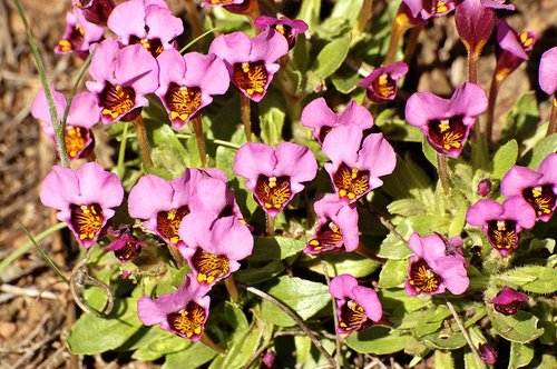Purple Mouse Ears - Mimulus douglasii - Bagby CA 4-1-11_285.jpg