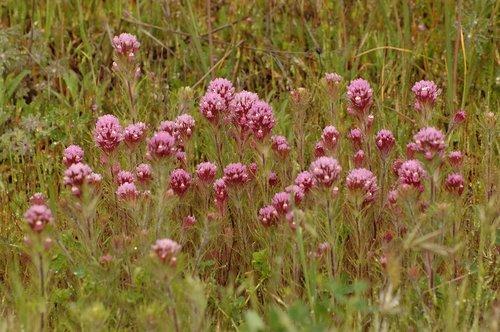Purple Owls Clover - Castilleja exserta exserta - Avanela Wildflower Area CA 4-3-10_038.jpg