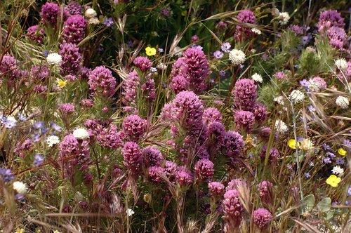 Purple Owls Clover -Castilleja exserta - Avanela Wildflower Area 4-18-10_039.jpg