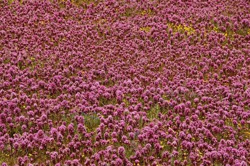 Purple Owls Clover -Castilleja exserta - Carrizo Plain CA 4-17-10_274.jpg