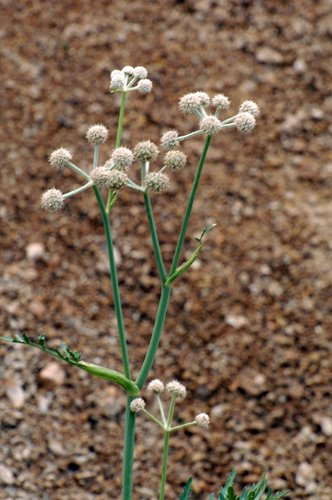 Rangers Buttons - Sphenosiadiudium capitellatum - Sonora Pass CA 8-1-09_134.jpg