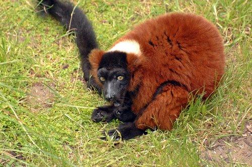Red Ruffed Lemur - Varecia variegata rubra - Madagascar Africa 5-15-10_162.jpg