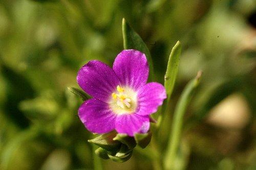 Redmaids - Calandrinia ciliata - Merced River Canyon CA 2-28-10_337.jpg