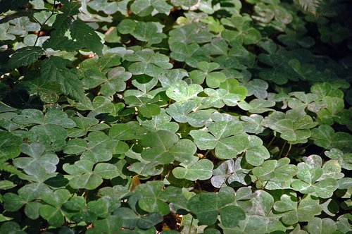 Redwood Sorrel - Oxalis oregano - Redwood NP CA 9-8-09_160.jpg