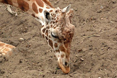 Reticulated Giraffe - Giraffa camelopardalis reticulate - Central Africa 10-8-09_053.jpg