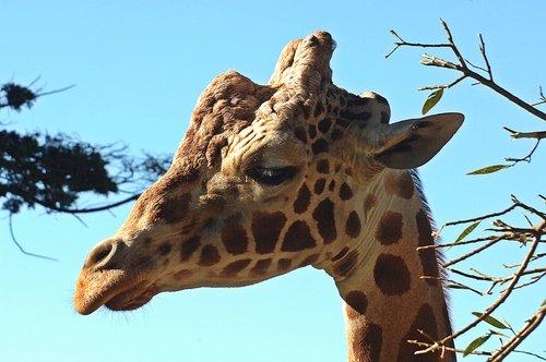 Reticulated Giraffe - Giraffa camelopardalis reticulate - Central Africa 12-25-09 1_028.jpg