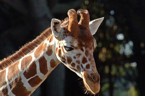 Reticulated Giraffe - Giraffa camelopardalis reticulate - Central Africa 12-25-09 1_051.jpg