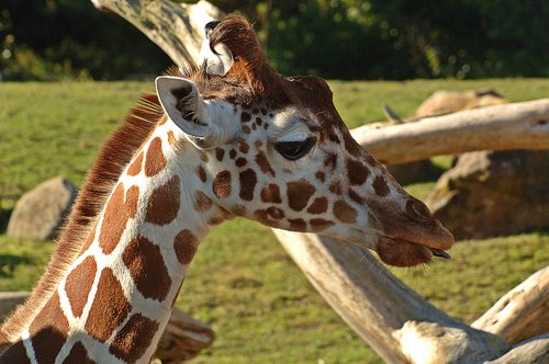 Reticulated Giraffe - Giraffa camelopardalis reticulate - Central Africa 12-25-09 1_055.jpg