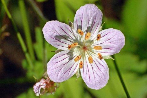 Richardsons Geranium - Geranium richardsonii - Hogdon Meadow Yosemite CA 6-27-09_088.jpg