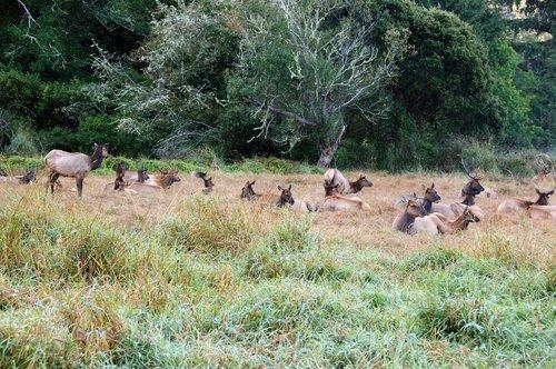 Roosevelt Elk - Cervus canadensis roosevelti - Redwood National Park CA 9-8-09_012.jpg