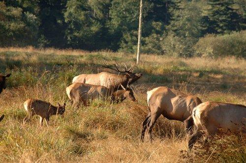 Roosevelt Elk - Cervus canadensis roosevelti - Redwood National Park CA 9-8-09_037.jpg