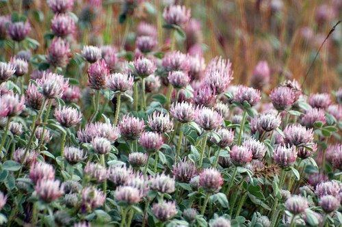 Rose Clover - Trifolium hirtum - Railroad Flat CA 4-25-10_020.jpg