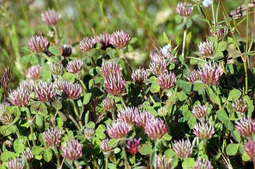 Rose Clover - Trifolium hirtum - Railroad Flat CA 4-25-10_118.jpg