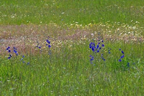 Royal Larkspur - Delphinium variegatum variegatum - Chinese Camp CA 1 4-16-11_209.jpg
