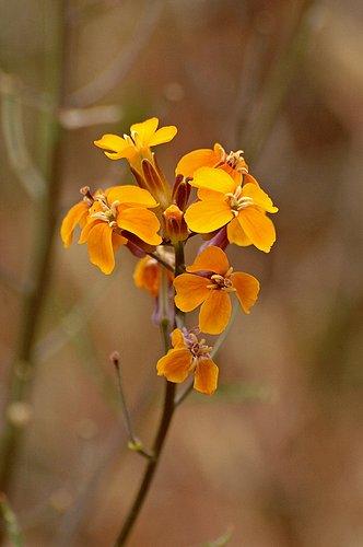 Sanddune Wallflower -  Erysimum capitatum capitatum - Del Puerto Canyon CA 4-2-10_021.jpg