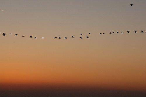 Sandhill Crane - Grus canadensis - Merced NWR CA 12-24-11_014.jpg