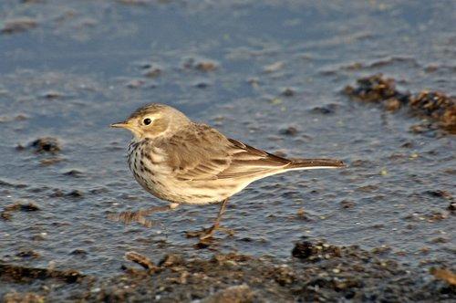 Savannah Sparrow - Passerculus sandwichensis - Merced NWR CA 10-23 11-6 11-26 12-4-10_179.jpg