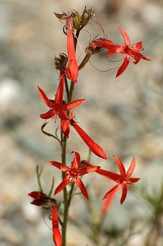 Scarlet Gilia - Ipomopsis aggregata - Ebbets Pass CA 8-1-09_020.jpg