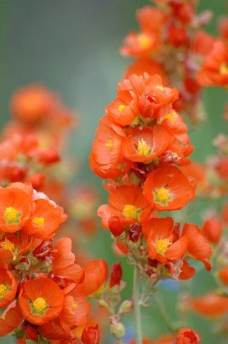 Scarlet Globemallow (Sphaeralcea coccinea) Grand Teton NP Wyoming 7-6-08_115 (2).jpg