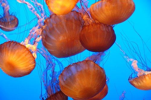 Sea Nettle - Chrysaora fuscescens - Monterey CA 11-28-09_115.jpg