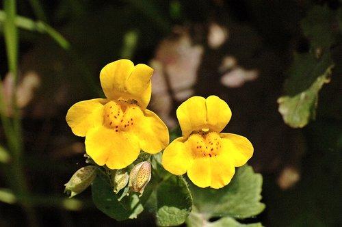 Seep Monkey Flower - Mimulus guttatus - Chinese Camp CA 1 4-16-11_092.jpg