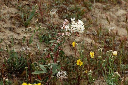 Shredding Evening Primrose - Eremothera boothii decorticans - Carrizo Plain CA 4-17-10_068.jpg