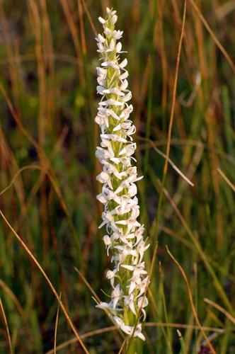 Sierra Bog Orchid - Platanthera dilatata leucostachys - Dardenelles 8-1-09_021.jpg