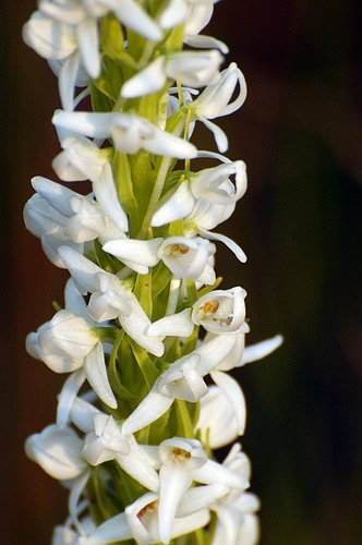 Sierra Bog Orchid - Platanthera dilatata leucostachys - Dardenelles CA 8-1-09_013.jpg