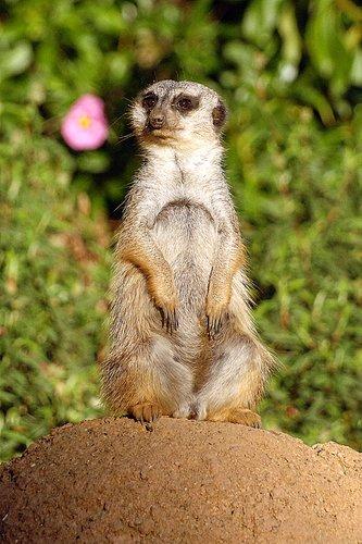 Slender-tailed Meerkat - Suricata suricatta - Southern Africa 12-25-09 2_030.jpg