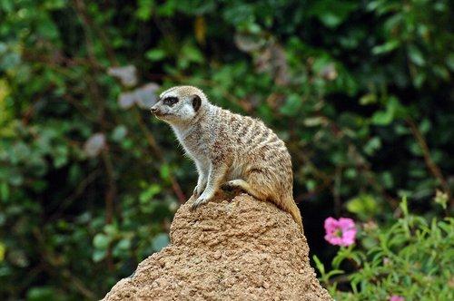 Slender-tailed Meerkat - Suricata suricatta - Southern Africa 5-15-10_182.jpg