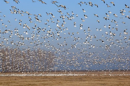 Snow Goose - Chen caerulescens - Merced CA 12-24-11_271.jpg