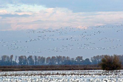 Snow Goose - Chen caerulescens - Merced NWR CA 10-23 11-6 11-26 12-4-10_210.jpg