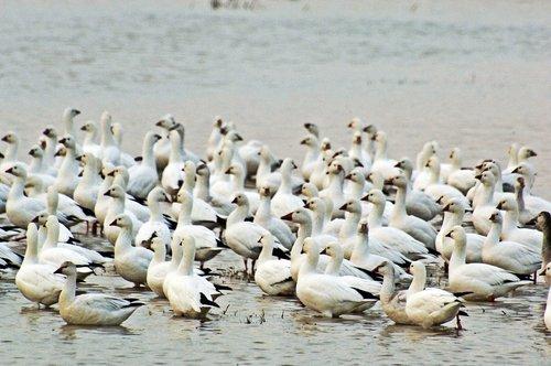 Snow Goose - Chen caerulescens - Merced NWR CA 10-23 11-6 11-26 12-4-10_229.jpg