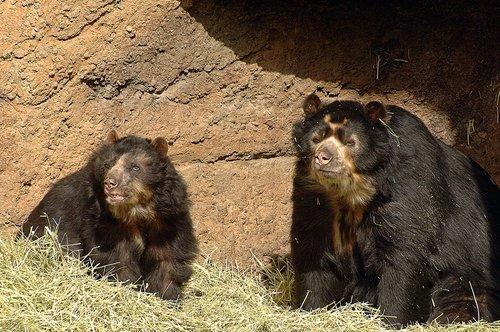 Spectacled Bear - Tremarctos ornatus - San Francisco CA 10-8-09_264.jpg