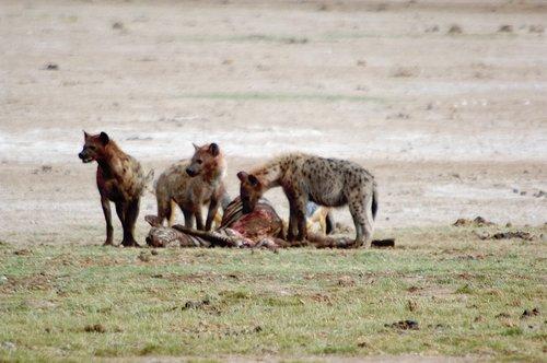 Spotted Hyena - Crocuta crocuta - Amboseli NP Kenya 10-10-07_053.jpg