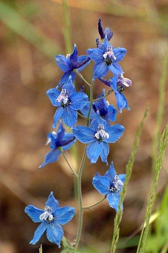 Spreading Larkspur - Delphinium patens patens - Del Puerto Canyon CA 4-2-10_260.jpg