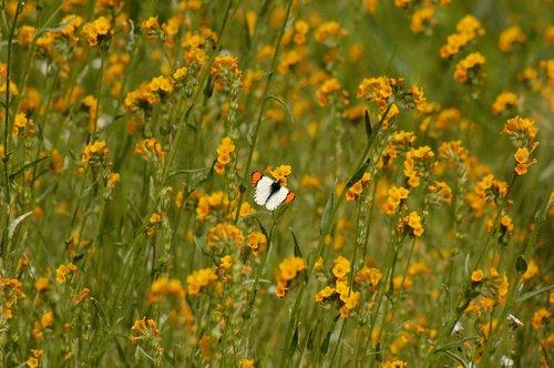 Stella Orangetip Butterfly - Anthocharis stella - Railroad Flat CA 3-21-10_114.jpg