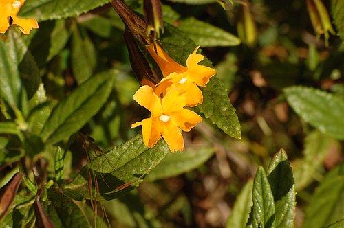 Sticky Monkeyflower Bush - Mimulus aurantiacus - Redwood City CA 4-16-10_089.jpg