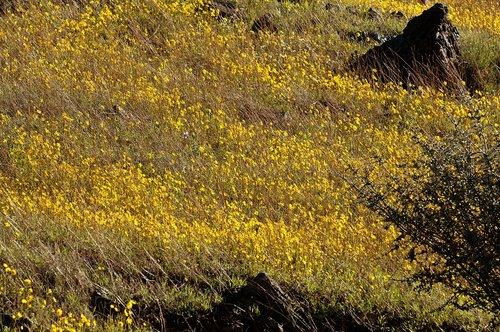 Stillmans Coreopsis - Leptosyne stillmanii - Bagby CA 3-14-10_133.jpg