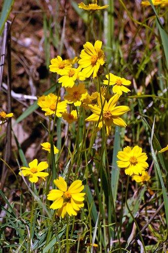 Stillmans Coreopsis - Leptosyne stillmanii - Bagby CA 3-14-10_173.jpg