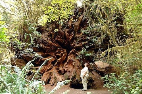 Stump of a Coast Redwood blown over - Redwood NP CA 9-9-09_178.jpg