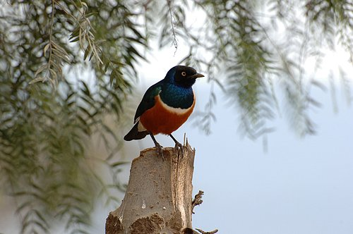 Superb Starling - Lamprotornis superbus - Lake Nukuru NP 10-8-07_003.jpg
