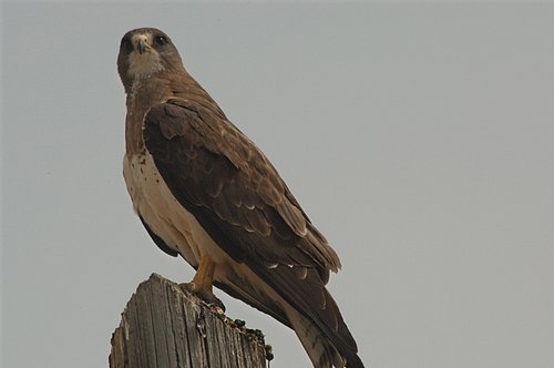 Swainsons Hawk - Buteo swainsoni - Grand Teton NP 7-07 7-05-08_102.jpg