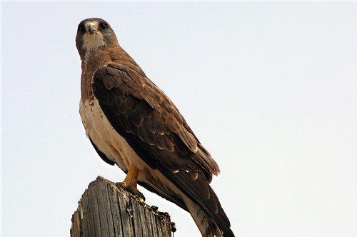 Swainsons Hawk - Buteo swainsoni - Grand Teton NP Wyoming 7-07 7-05-08_102.jpg