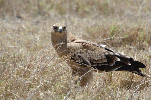 Tawny Eagle - Aquila rapax - Ngorongoro Crater NP 10-16-07 1_255.jpg