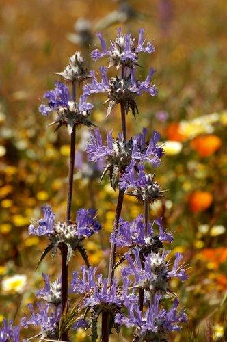 Thistle Sage - Salvia carduacea - Avanela Wildflower Area CA 4-18-10_270.jpg