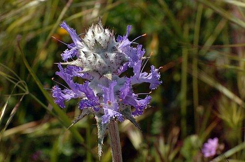 Thistle Sage - Salvia carduacea - Avanela Wildflower Area CA 4-18-10_278.jpg