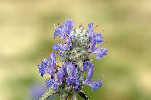 Thistle Sage - Salvia carduacea - Carrizo Plain CA 4-2-10_106.jpg